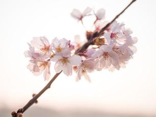 早朝から朝に掛けて撮影した水元公園の桜の花の写真素材 [FYI03824043]