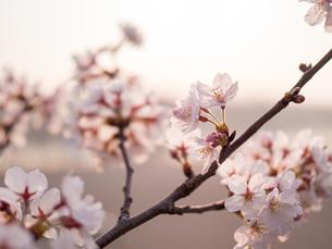 早朝から朝に掛けて撮影した水元公園の桜の花の写真素材 [FYI03824044]