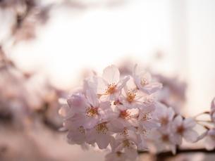 早朝から朝に掛けて撮影した水元公園の桜の花の写真素材 [FYI03824045]