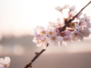 早朝から朝に掛けて撮影した水元公園の桜の花の写真素材 [FYI03824046]