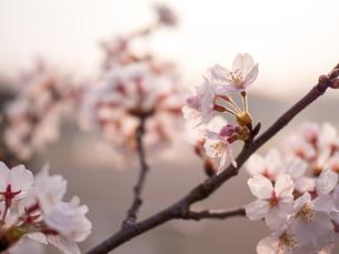 早朝から朝に掛けて撮影した水元公園の桜の花の写真素材 [FYI03824047]