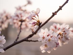 早朝から朝に掛けて撮影した水元公園の桜の花の写真素材 [FYI03824048]