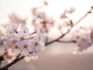 早朝から朝に掛けて撮影した水元公園の桜の花の写真素材 [FYI03824049]
