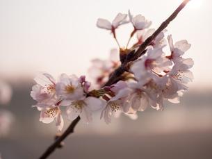 早朝から朝に掛けて撮影した水元公園の桜の花の写真素材 [FYI03824050]
