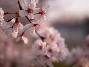 早朝から朝に掛けて撮影した水元公園の桜の花の写真素材 [FYI03824051]