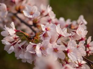 早朝から朝に掛けて撮影した水元公園の桜の花の写真素材 [FYI03824052]
