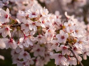 早朝から朝に掛けて撮影した水元公園の桜の花の写真素材 [FYI03824053]