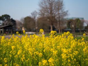 水元公園の菜の花畑の写真素材 [FYI03824055]