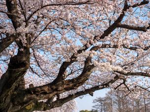早朝から朝に掛けて撮影した水元公園の桜の花の写真素材 [FYI03824056]