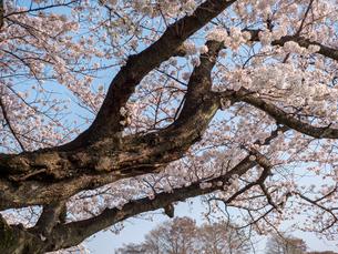 早朝から朝に掛けて撮影した水元公園の桜の花の写真素材 [FYI03824057]