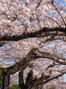 早朝から朝に掛けて撮影した水元公園の桜の花の写真素材 [FYI03824058]