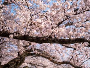 早朝から朝に掛けて撮影した水元公園の桜の花の写真素材 [FYI03824059]