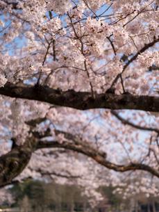 早朝から朝に掛けて撮影した水元公園の桜の花の写真素材 [FYI03824060]