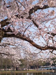 早朝から朝に掛けて撮影した水元公園の桜の花の写真素材 [FYI03824061]