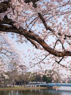 早朝から朝に掛けて撮影した水元公園の桜の花の写真素材 [FYI03824062]