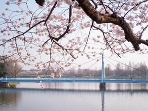 早朝から朝に掛けて撮影した水元公園の桜の花の写真素材 [FYI03824063]