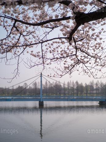 早朝から朝に掛けて撮影した水元公園の桜の花の写真素材 [FYI03824064]