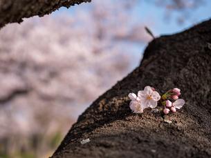 早朝から朝に掛けて撮影した水元公園の桜の花の写真素材 [FYI03824065]