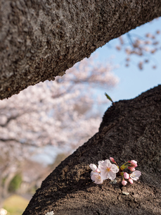 早朝から朝に掛けて撮影した水元公園の桜の花の写真素材 [FYI03824066]