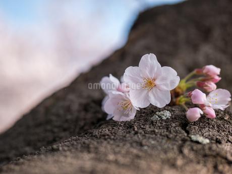 早朝から朝に掛けて撮影した水元公園の桜の花の写真素材 [FYI03824067]