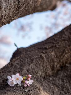 早朝から朝に掛けて撮影した水元公園の桜の花の写真素材 [FYI03824068]