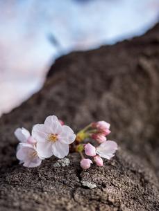 早朝から朝に掛けて撮影した水元公園の桜の花の写真素材 [FYI03824069]