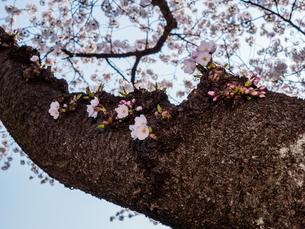 早朝から朝に掛けて撮影した水元公園の桜の花の写真素材 [FYI03824070]