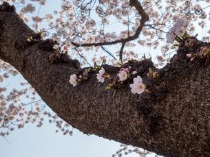 早朝から朝に掛けて撮影した水元公園の桜の花の写真素材 [FYI03824119]
