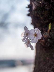 早朝から朝に掛けて撮影した水元公園の桜の花の写真素材 [FYI03824120]