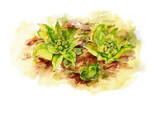 フキノトウ水彩画のイラスト素材 [FYI03824381]