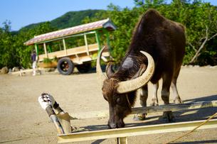 水牛の写真素材 [FYI03824576]