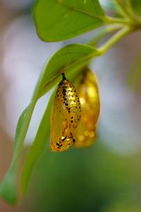 金色のサナギの写真素材 [FYI03824580]