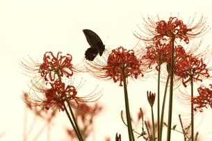 彼岸花と蝶の写真素材 [FYI03824753]