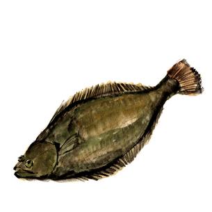 ヒラメ 平目 水彩 魚介 素材のイラスト素材 [FYI03825192]