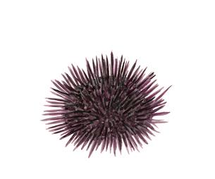 ウニ 水彩 素材 魚介のイラスト素材 [FYI03825194]