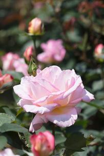 ピンクのバラの花の写真素材 [FYI03825206]