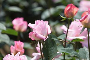 ピンクのバラの花の写真素材 [FYI03825207]