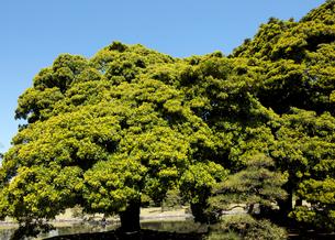 浜離宮恩賜庭園のタブの木の芽吹きの写真素材 [FYI03825218]