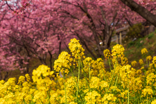 菜の花と河津桜の写真素材 [FYI03825366]