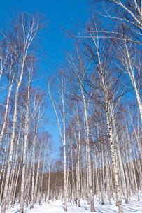 冬のシラカバ林と青空の写真素材 [FYI03825540]