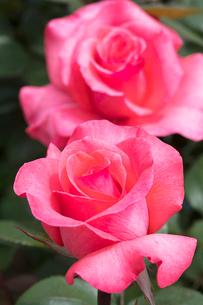 赤いバラの花の写真素材 [FYI03825590]