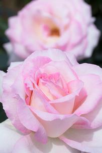 ピンクのバラの花の写真素材 [FYI03825660]