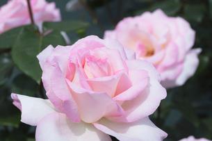 ピンクのバラの花の写真素材 [FYI03825661]