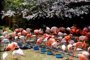 神戸,王子動物園のフラミンゴの写真素材 [FYI03825827]