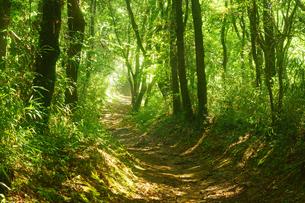森の光芒の写真素材 [FYI03825935]