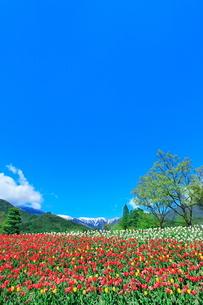 チューリップ畑と緑樹に北アルプスの写真素材 [FYI03826044]