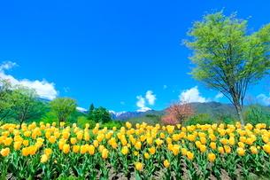 チューリップ畑と緑樹に北アルプスの写真素材 [FYI03826045]