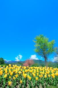 チューリップ畑と緑樹に北アルプスの写真素材 [FYI03826046]