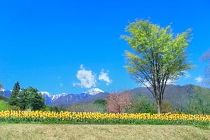 チューリップ畑と緑樹に北アルプスの写真素材 [FYI03826047]