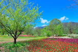 チューリップ畑と緑樹に北アルプスの写真素材 [FYI03826050]